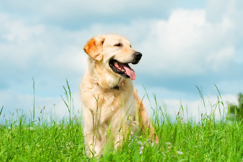 Golden retriever - az egyik leggyerekbarátabb kutya. Játékos, aktív, mindeközben türelmes és gyengéd. Nagyobb testű, ezért kiemelkedően fontos elegendő teret és mozgást biztosítani neki.