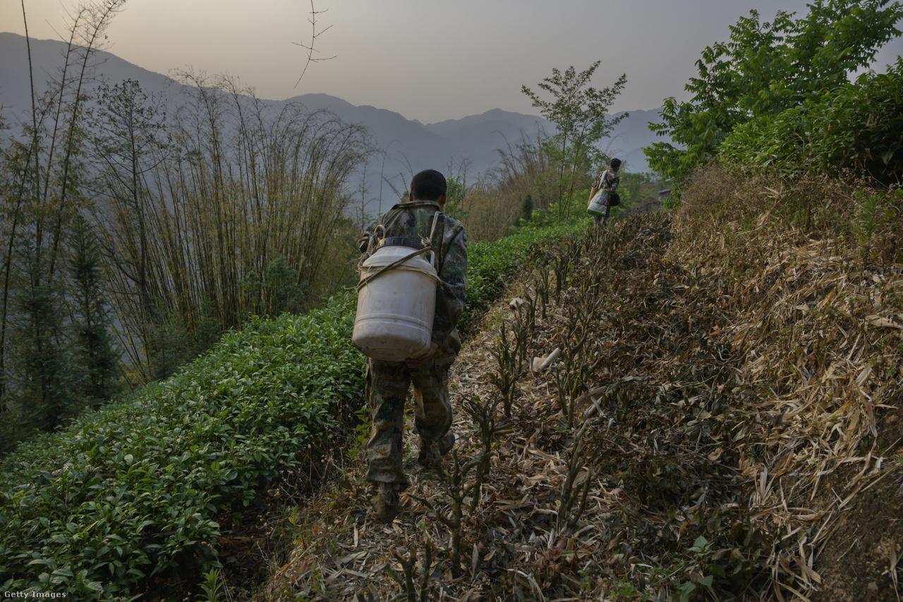 A Himalája erdőségei is megszenvedik az ember okozta környezeti hatásokat, a helyi farmerek egyre több növényvédő szert használnak, ami a rovarpopulációkat is pusztítja. A mézvadászok szerint a méhek is fogynak, egyre nehezebb fészkeket találni.