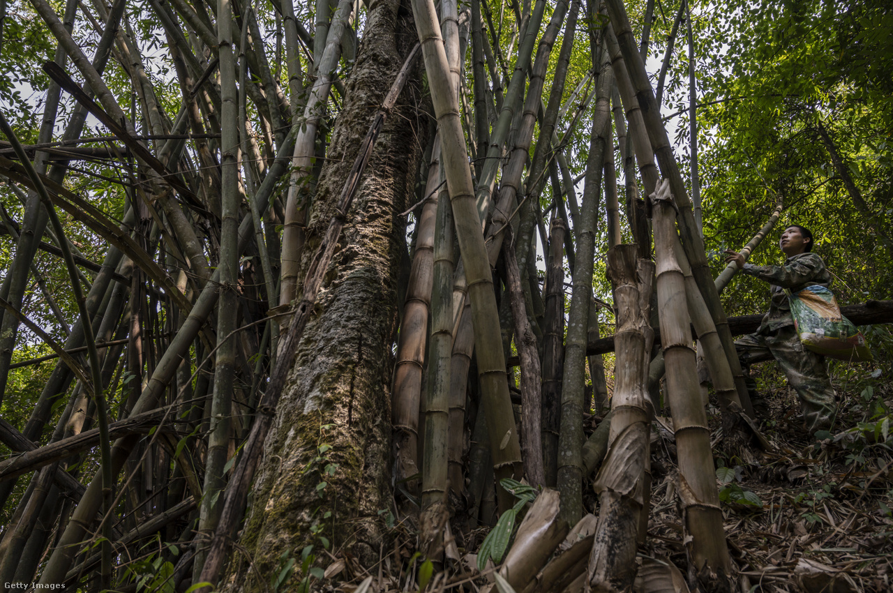A liszuk a Himalája erdőségeiben keresik meg az óriásméhek fészkeit, amelyekből aztán kilopják a mézet. A bambuszt már a megszerzett méz tárolásához és szállításához vágják ki.