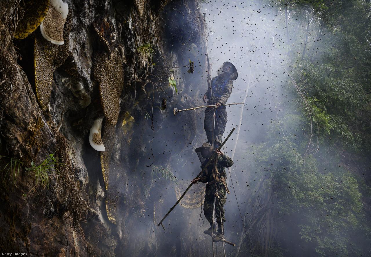 A lépeket a kötéllétrákon imbolyogva próbálják meg begyűjteni. Az egyik méhész egy rúddal veri le a falról a lépeket, míg az alatta függeszkedő egy kosárral kapja el.