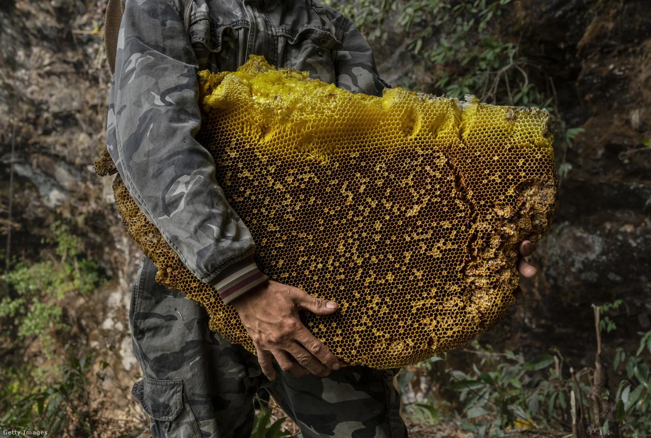 Egy-egy lépben több kilónyi méz van, egy nagyobb fészekből akár 45 kiló is kinyerhető. A mézvadászok azonban nem viszik el mindet, az ő érdekük is, hogy fennmaradjon a méhpopuláció a területen, csak így tudják ők is évről évre biztosítani a mézmennyiséget.