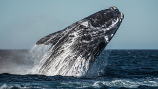 Először rögzítették az egyik legritkább bálnafaj énekét. Hallgasd meg!