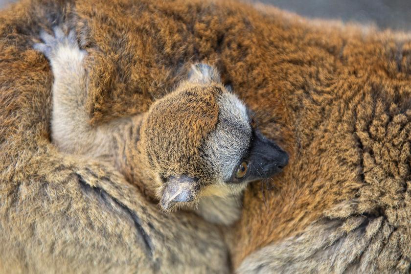 Tündéri szőrmók született a Nyíregyházi Állatparkban: az apró makitól elolvadsz