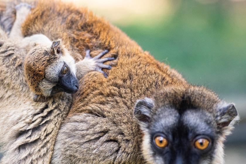A főemlősök idejük nagy részét a mászófelületeken töltik, de alkalmanként lemerészkednek a földre élelem után kutatni.