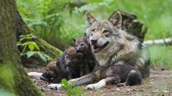 Farkasokat csempésztek Finnországba, hogy kutya-farkas hibrideket tenyésszenek