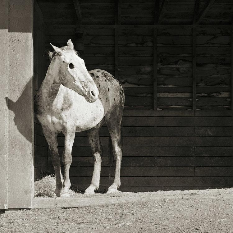 Buddyt, a 28 éves lovat megvakították, és szinte halálra kínozták. Ma már békésen éldegél, de kemény sorsa nyomot hagyott rajta.