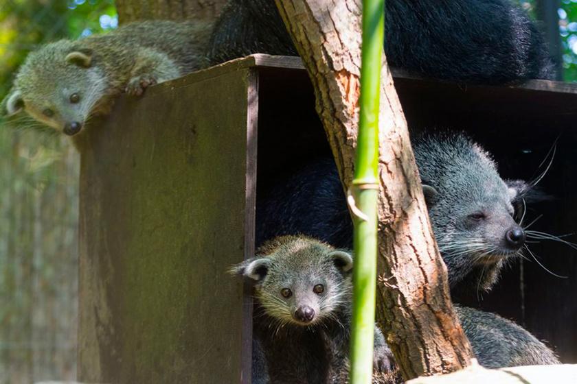 A binturongok az Indokínai-félsziget erdeiben élnek, a Természetvédelmi Világszövetség adatai szerint egyre csökkenő számban.