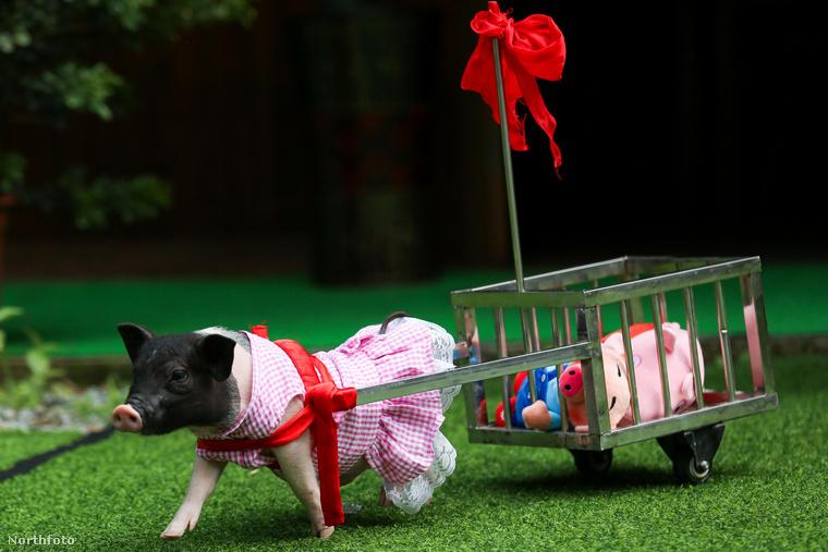 A törpemalacokat előszeretettel tartják otthon háziállatként már évek óta