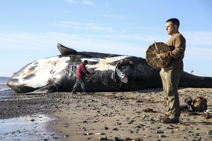 Elpusztult északi simabálna boncolás előtt a kanadai Miscou-sziget térségében 2019. június 7-én.