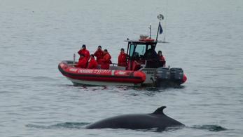 17 év után idén először nem tartják meg a bálnavadászatot Izlandon