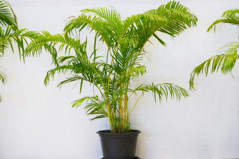 Az aranypálma eredeti élőhelyén akár tízméteresre is megnőhet, a lakásban tartva azért lényegesen kisebb lesz, de így is évente 20 centis növekedéssel lehet számolni. Közepes vízigényű, párakedvelő növény, amit könnyű gondozni.