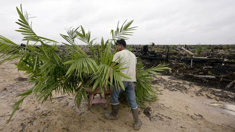 Indonézia egyre jobban önti magából a pálmaolajat