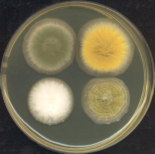 Négy Aspergillus kolónia három napig 37 ° C-on tenyésztve