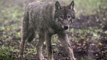 Farkasok téphettek szét egy szarvasmarhát Zemplénben