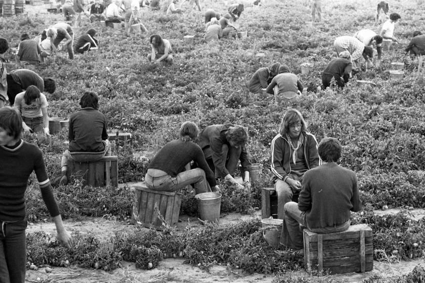Ilyen volt a krumpliszedés a KISZ-építőtáborban: a mai gyerekek már nem tudhatják, mi volt benne a jó