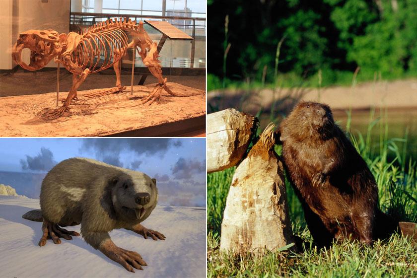 Az egykori, medve méretű őshód (Castorides) jó szemléltető példa a méretcsökkenésre. A mai egyedek aprók hozzájuk képest, mint jobbra látjuk.