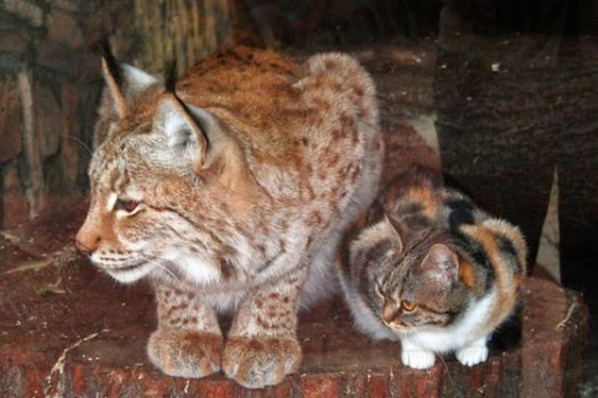 A kóbor macska még kölyökként keveredett a hiúz ketrecébe, aki nem bántotta, éppen ellenkezőleg: tárt mancsokkal és szeretettel várta a kis jövevényt.