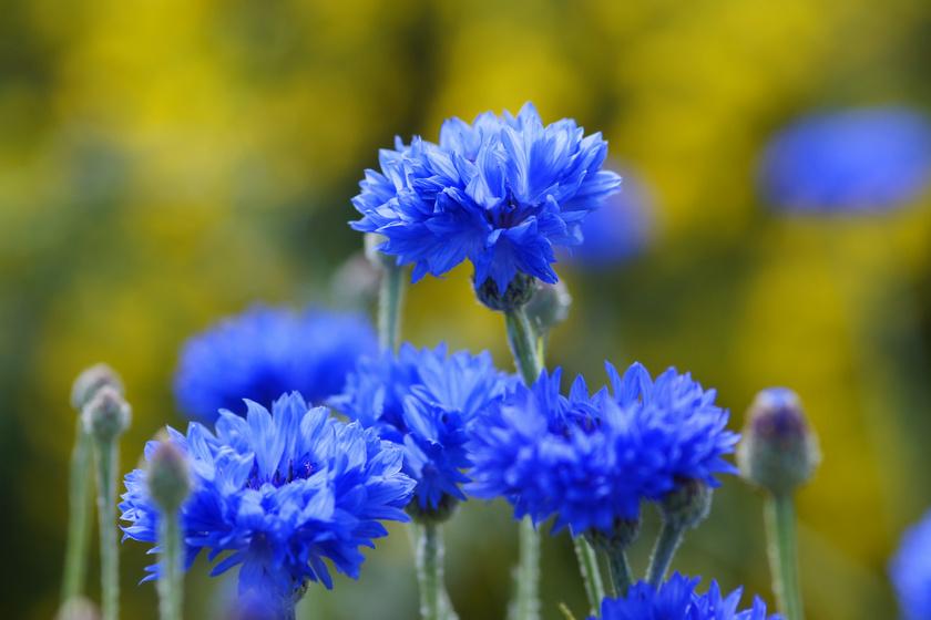 Búzavirággal többnyire a természetben találkozik az ember, a kertekben ritkábban, pedig ültetésével rusztikus, barátságos hangulatot lehet teremteni, és a méheket is odavonzza.