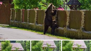 140 medve kilövését hagyták jóvá Romániában