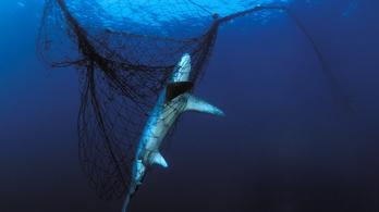 Anglia partjainál ráják és cápák akadnak szemétbe és elhagyott halászhálókba