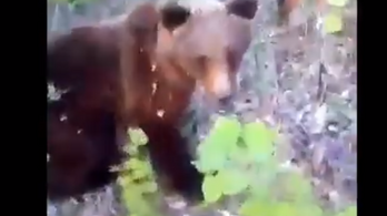 Addig videózta egy férfi a medvét az erdőben, amíg az rátámadt