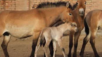 Négy ritka ázsiai vadló született Kínában