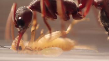 Élő hangyákkal teli csomagot foglalt le a kínai vámhatóság