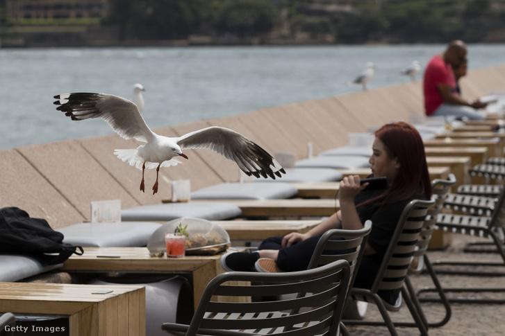 Sirály próbálkozik élelemszerzéssel a Sydney-i Operaház közelében lévő egyik étterem teraszánál