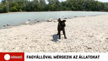 Tucatnyi állatot mérgeztek meg Szentendrén fagyállóval