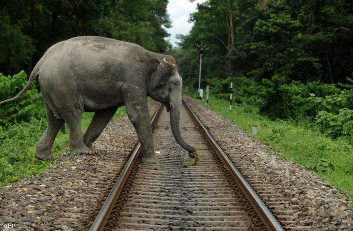Egy elefánt megy át a vasúti síneken az indiai Siliguriban