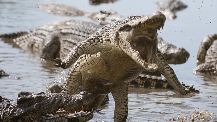 Ne húzzanak le több metamfetamint a vécén, mert megőrjíti az aligátorokat