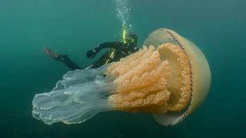 Emberméretű medúzát találtak Angliánál