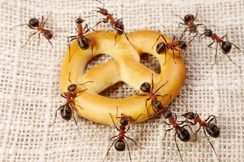 Hogy üldözd ki a hangyákat a lakásból? Bevált módszerek a kéretlen lakók ellen