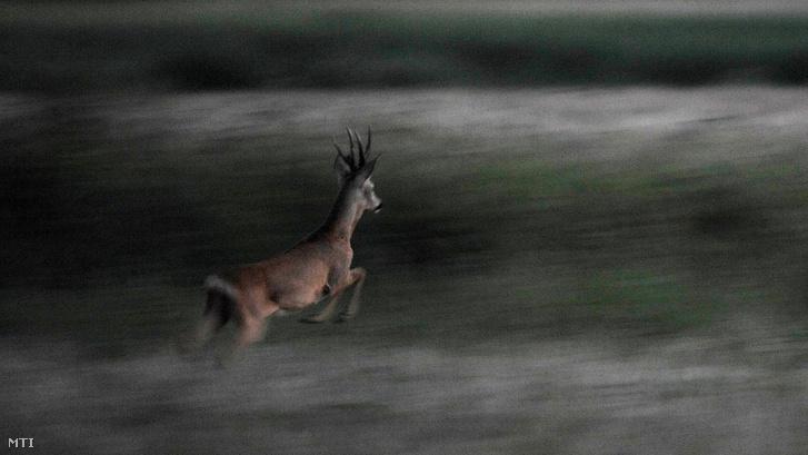 Egy őzbak kergetőzik üzekedés idején Tiszaföldvár határában