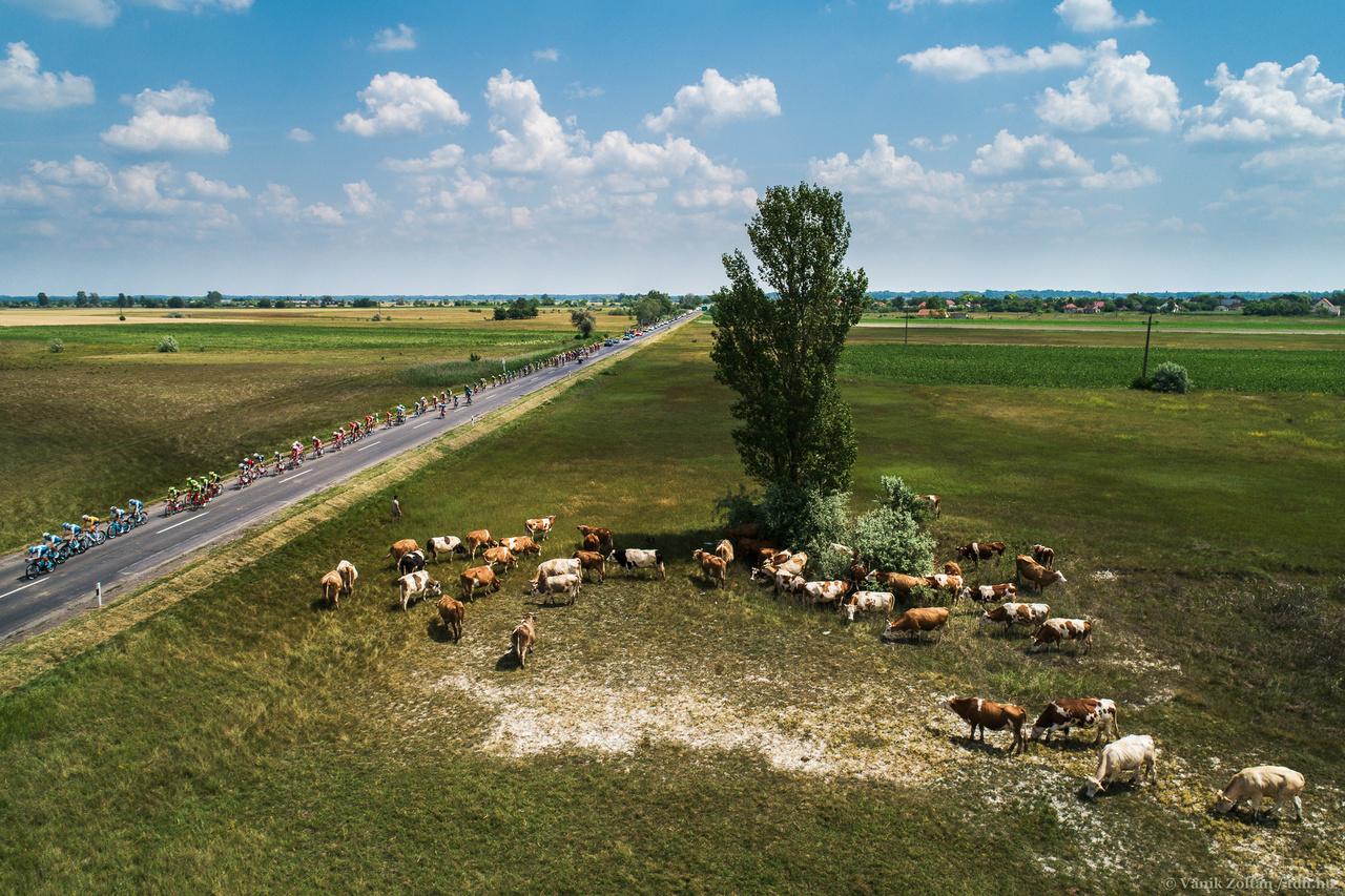 A zárószakaszon a Kiskunságon készült ez a a felvétel- Épp ideális helyzetben találtam rá erre a tehéncsordára, s a mezőny érkezéséig némi segítséggel sem az útra, sem attól távolabb nem mentek nagy örömömre.
