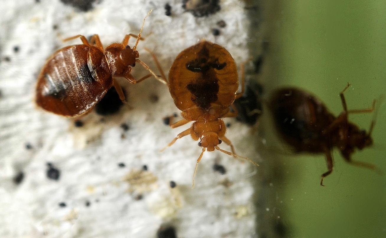 Paraziták a házban rovarok. Mérgező plusz csoport