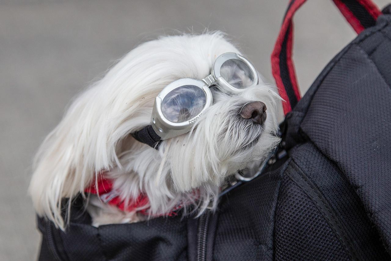 Közelarc 2. Autólegendák ide vagy oda, ahol Dorka, a motorozást kedvelő máltai selyemszőrű felbukkant a korhű szemüvegében gazdája, Giorgio hátizsákjában, ott azonnal ellopta a show-t. Akárhány millió dollár röfögtetett keresztül éppen a paddockban bámészkodó tömegen, biztosan minden szempár rájuk szegeződött.