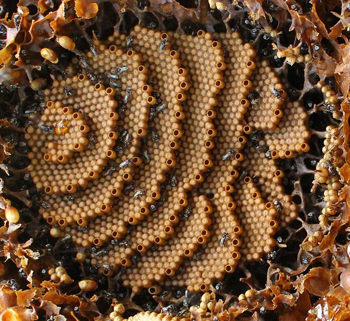 A Tetragonula carbonaria nagyon okosan úgy épít lépet, hogy a lehető legtöbb méz a lehető legkisebb helyen elférjen, és a lehető legkevesebb viaszt kelljen felhasználni.