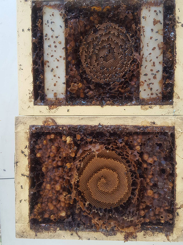 A méz ízét meghatározza, hogy az állatok milyen növényeket fogyasztanak: a faj méze jóval markánsabb ízű a mézelő méhek mézénél, mivel az többnyire ugyanazzal táplálkozik.