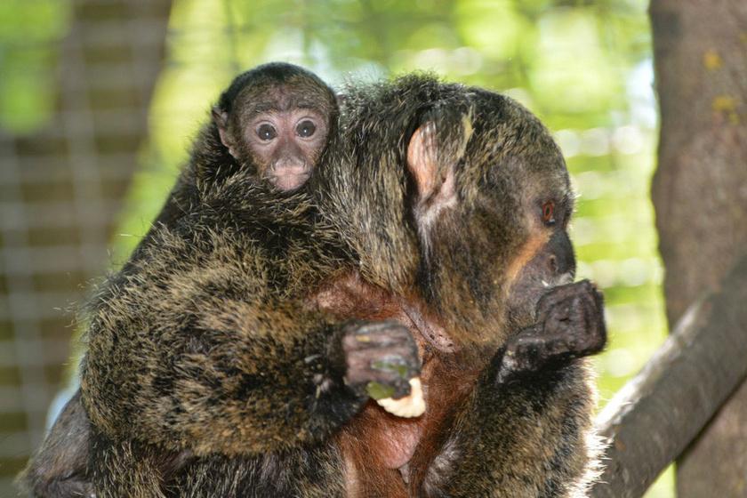 Az állatkertben angol neve után sakinak nevezik ezeket az érdekes, dél-amerikai majmokat.