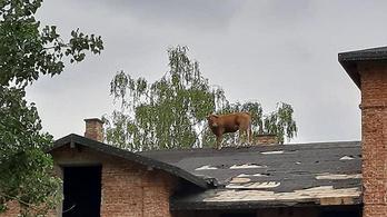 Bajba jutott tehenet mentettek a lengyelországi tűzoltók