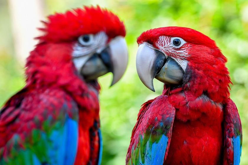 Testhossza 90 centiméter, testtömege 1000–1500 gramm, nagy testű papagáj ék alakú farokkal és csupasz pofatájékkal, melyben vörös színű dísztollak ülnek.