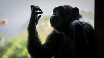 Letépte gondozója kezét egy csimpánz egy franciaországi állatkertben
