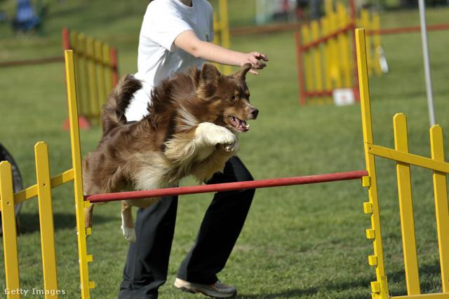 Az agilitytől is nagyon boldog a kutya