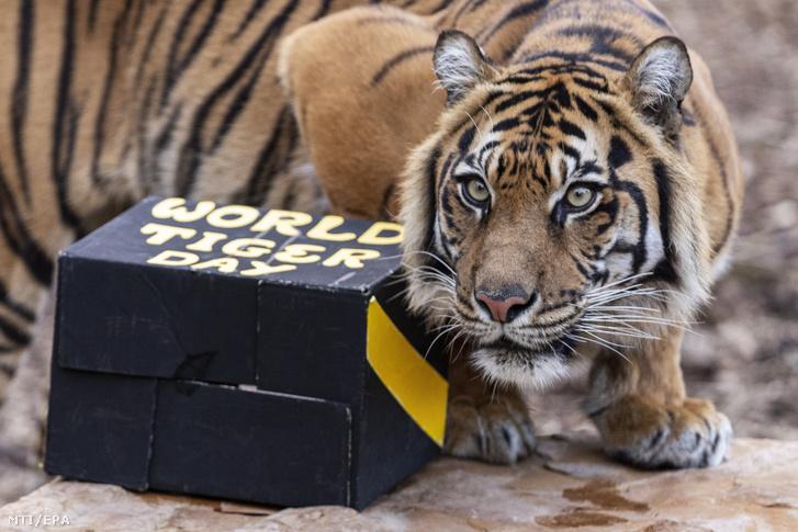 Indrah, a 9 éves szumátriai tigris ajándékával játszik a melbourne-i állatkertben 2019. július 29-én, a nemzetközi tigrisnapon.