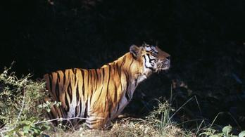Csaknem háromezer tigris él már Indiában