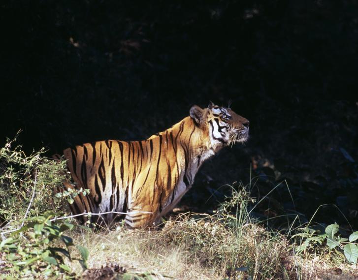Bengáli tigris Bandavgarh Nemzeti Parkban