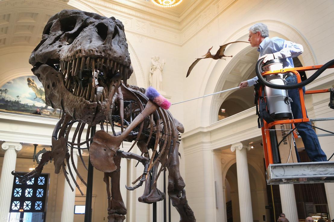 A chicagói Field Múzeumban a 67 millió éves T.rex, Sue csontvázát tisztítják.