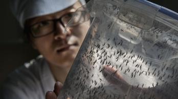 Sterilizálással és bacikkal az ázsiai tigrisszúnyog ellen