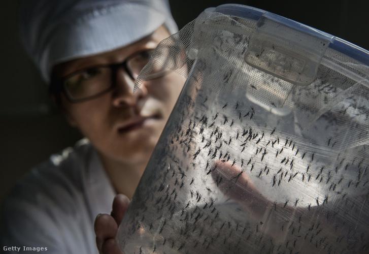 A kantoni egyetemen évek óta folynak a szúnyogokkal kapcsolatos kutatások
